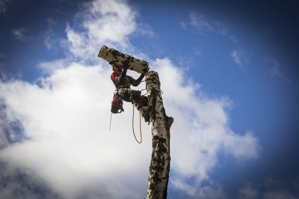 Арборист спиливает дерево по частям