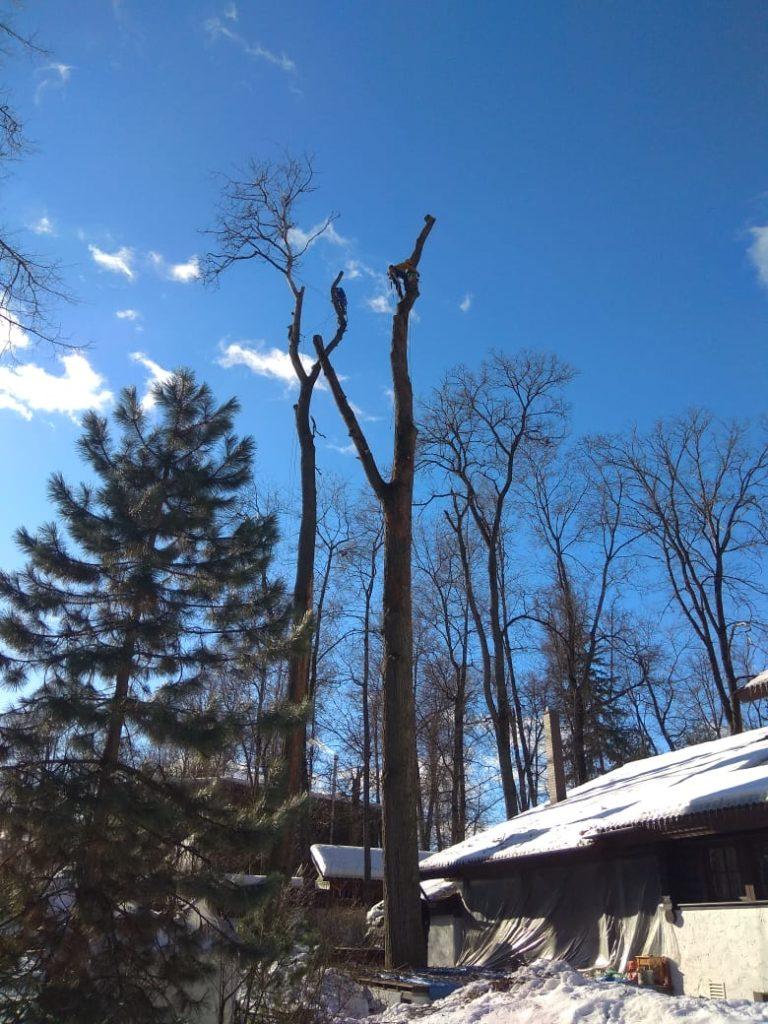 Спил дерева вяза по частям