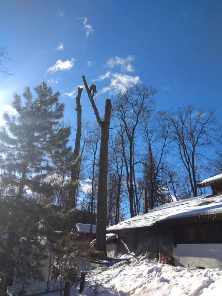Валка большого дерева